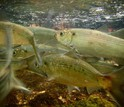 Alewives, a species of river herring, make their way from the Atlantic Ocean to a pond on land.
